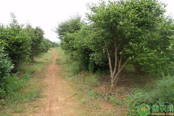 油茶树的种植成本和亩产收益