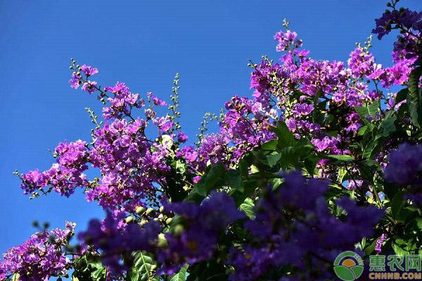紫薇的定价方式