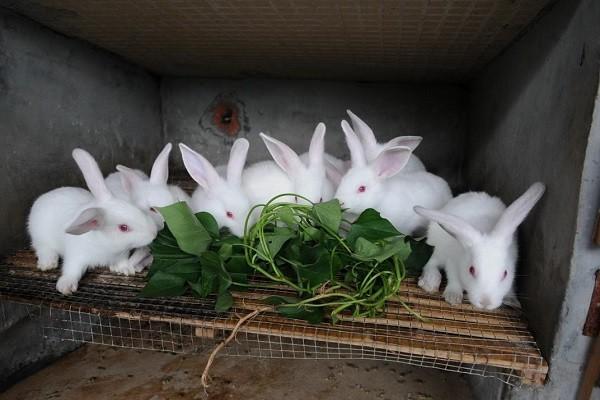 子洲县借助扶贫政策,大力发展兔场养殖,计划实现全县脱贫
