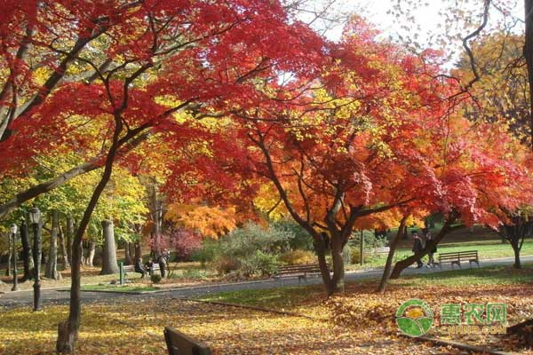 枫树价格多少钱一棵?枫树叶有什么功效和作用?