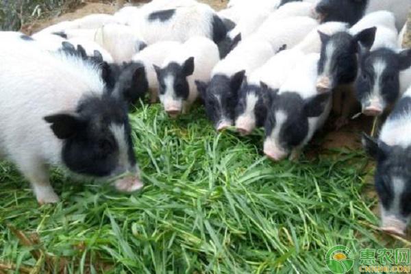 巴马香猪产业养殖