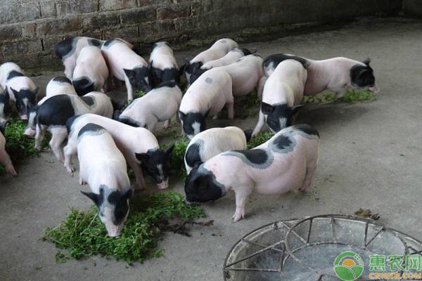 巴马香猪经济发展
