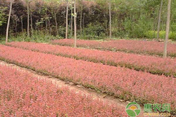 红叶小檗价格怎样?多少钱一棵?红叶小檗苗期管理要点