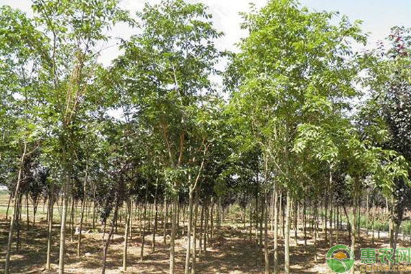 朴树有哪些品种
