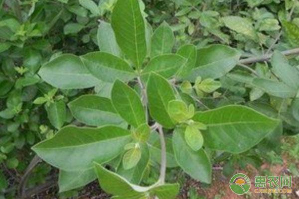 农村都有哪些值得种植的中药材?这四种种植效益可观!
