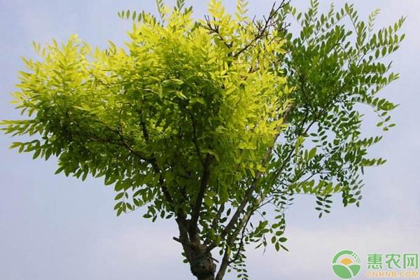 农村种植什么树前景好?这六种美观又值钱!