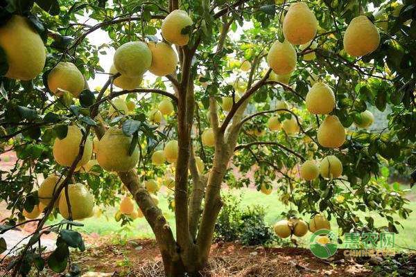香泡树价格贵不贵?多少钱一棵?香泡与柚子有什么区别?