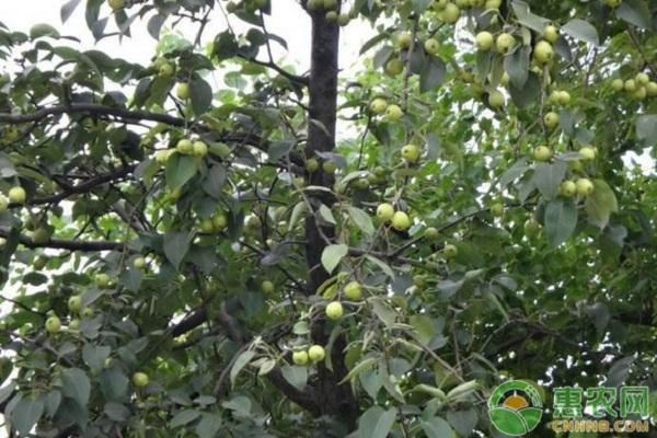 库尔勒香梨的种植管理技术