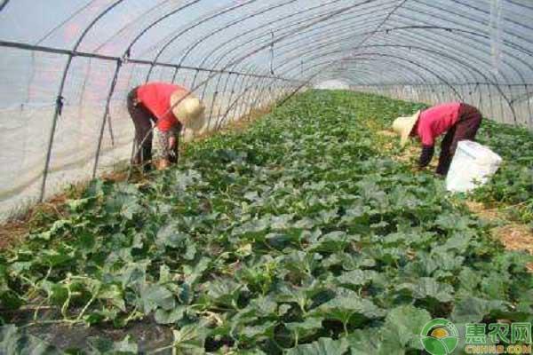 甜瓜种植技术