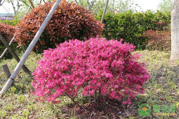 红花继木价格