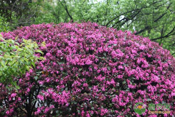 红花继木的养护要点