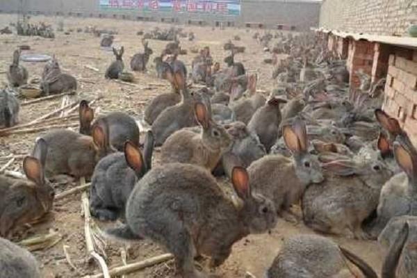 农村妇女靠养殖野兔兴家,带领更多的村民走向致富道路
