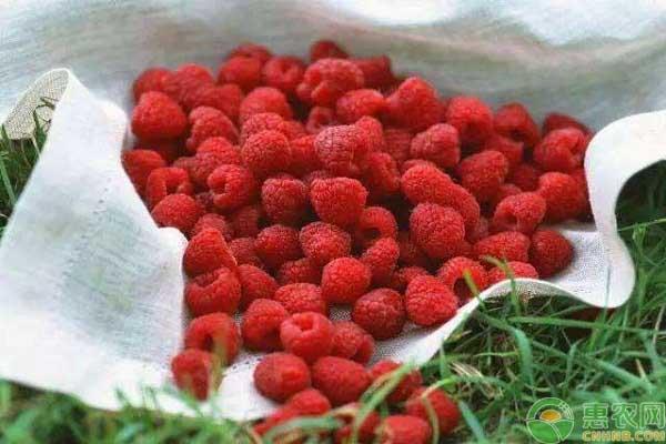 蛇莓的食用方法