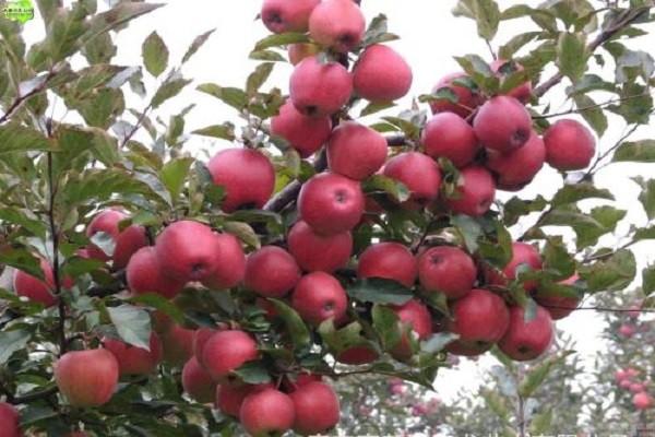 苹果树苗多少钱一株?苹果树苗的扦插育苗要点介绍