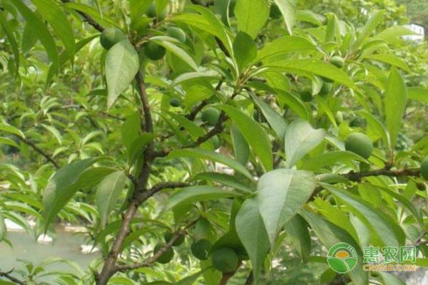 杏树苗最新价格