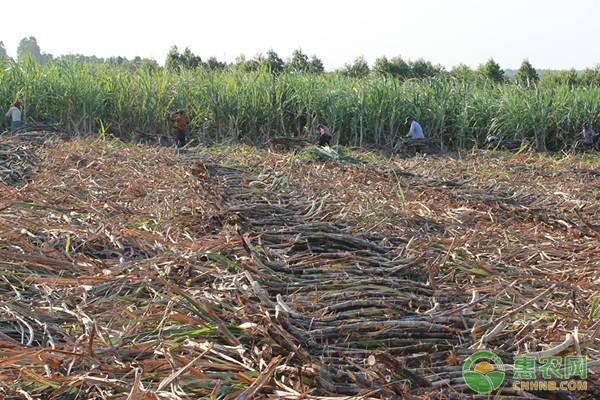 甘蔗苗价格如何?要多少钱一棵?甘蔗有什么作用与功效?