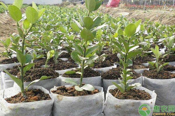 柿树的育苗技术
