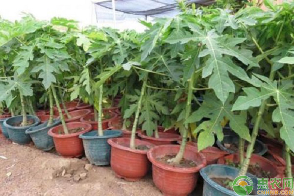 木瓜苗的市场价格