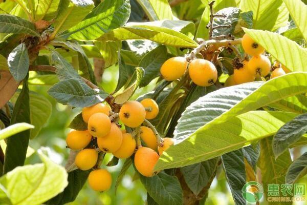 枇杷树苗价格要多少钱一棵?枇杷树苗的最佳栽植时间与方法