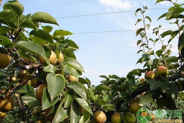 梨樹褐斑病的原因及防治方法