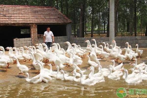 鵝不同階段的飼養管理要點