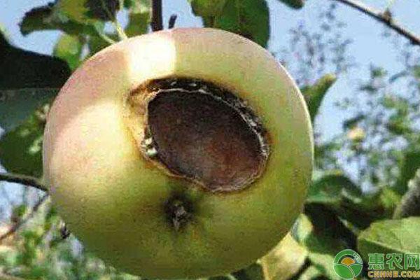苹果日灼病