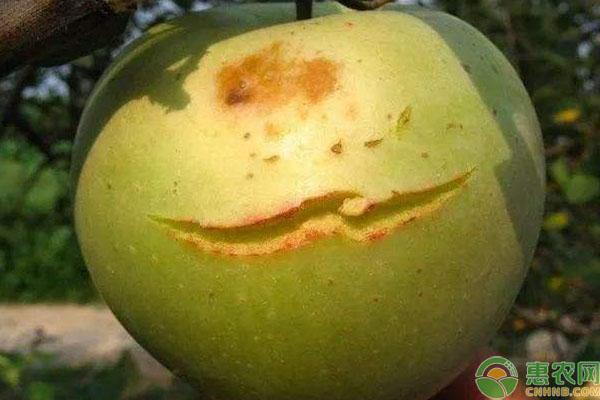 苹果日灼病防治方法