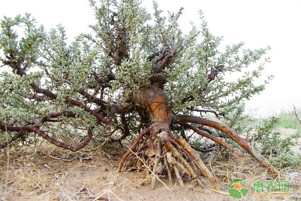 四合木保护价值