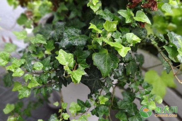 常青藤如何避免黄叶、烂根?