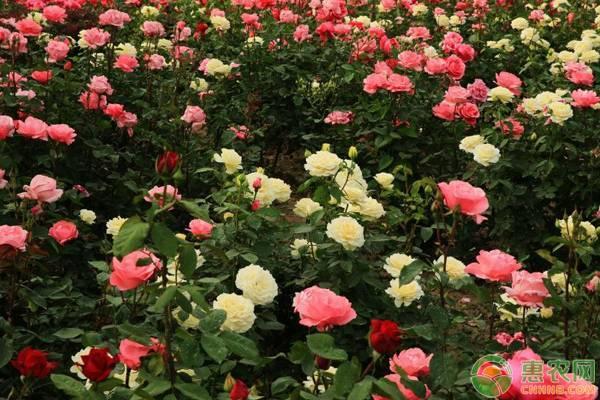 月季多少钱一盆?月季和玫瑰的区别是什么?