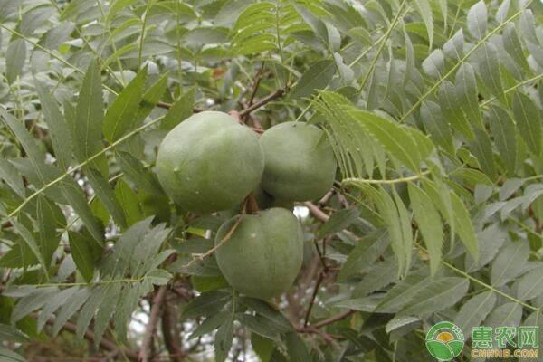 文冠果树苗市场价格如何?要多少钱一棵?文冠果树要怎么种植?