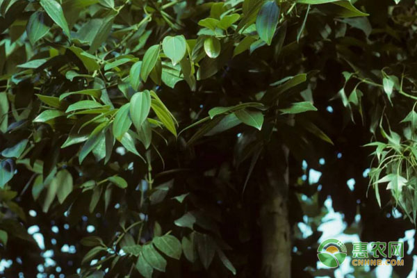 桂皮树最新价格