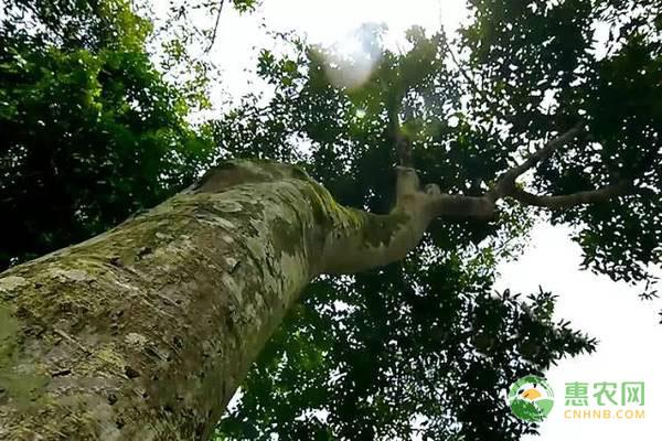 桂皮树的繁殖方法