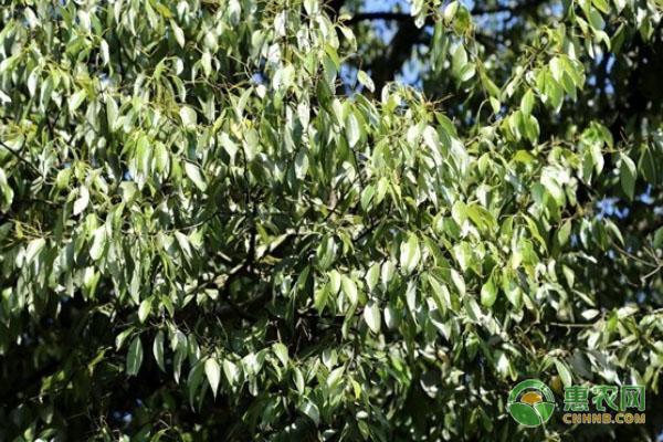 桂皮树的病虫害防治