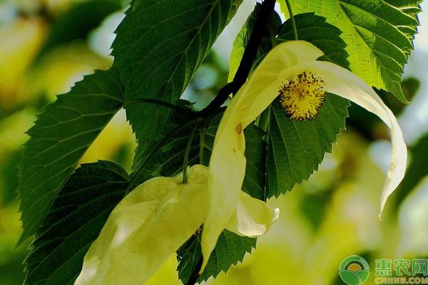 珙桐树价格贵吗?要多少钱一棵?珙桐树的种植步骤!