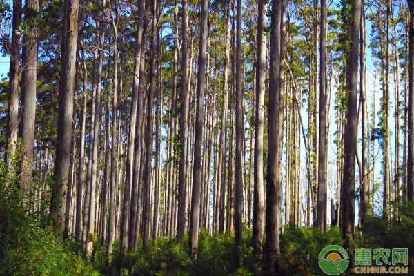 桉树价格要多少钱一棵?桉树有哪些价值?
