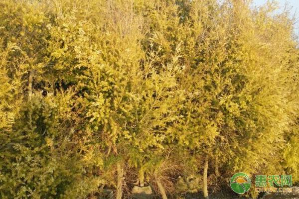 黄金宝树最新价格