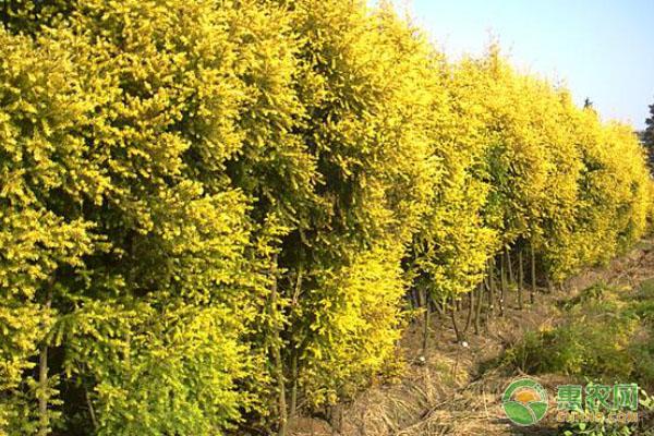 黄金宝树的栽培