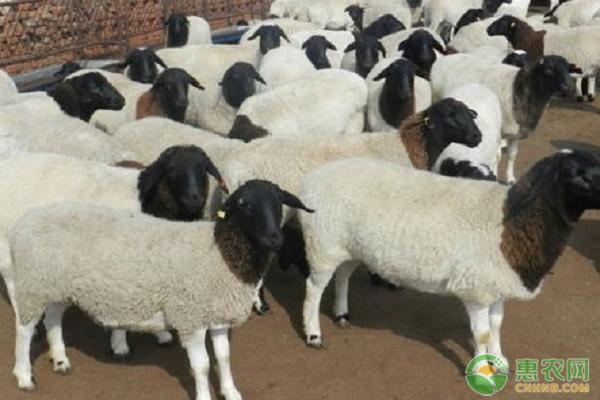 肉羊养殖项目