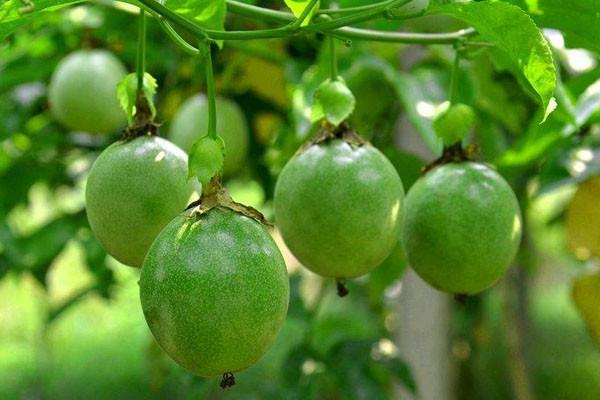 国内较火的百香果品种有哪些?百香果主栽品种介绍