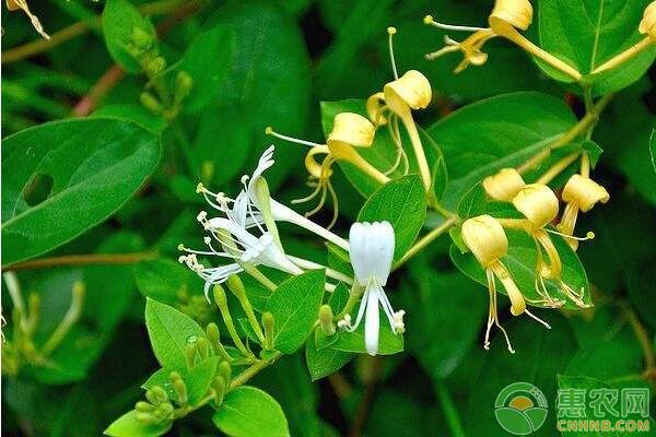 金银花苗批发价格多少钱一棵?金银花苗一般什么时候种植?
