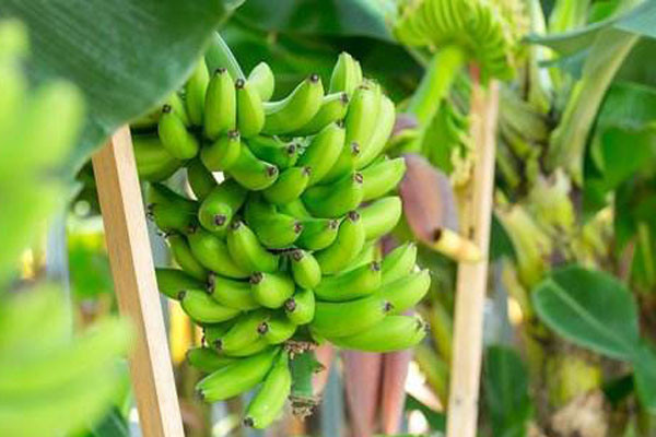 香蕉有哪些品种?这十个品种你觉得哪种最好吃?