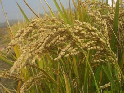 2019年种植水稻补贴可以拿到多少?如何拿?农民们注意了!
