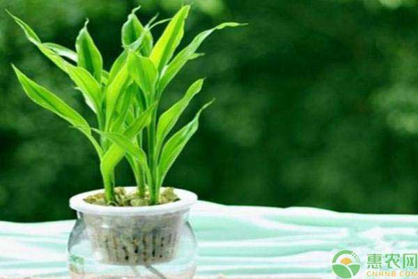 水培富贵竹的夏季养护指南