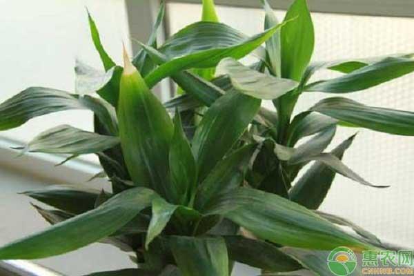 水培富贵竹的夏季养护要点