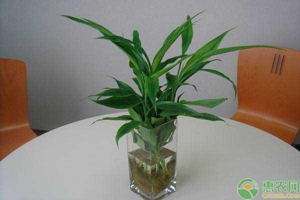 水培富贵竹的夏季养护技巧