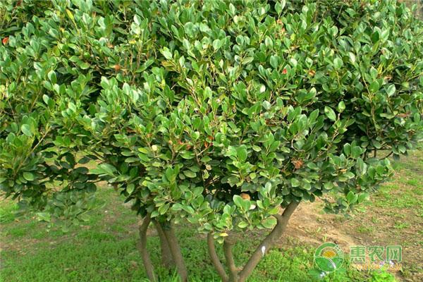 文母树市场价格如何?要多少钱一棵?文母树有哪些价值?