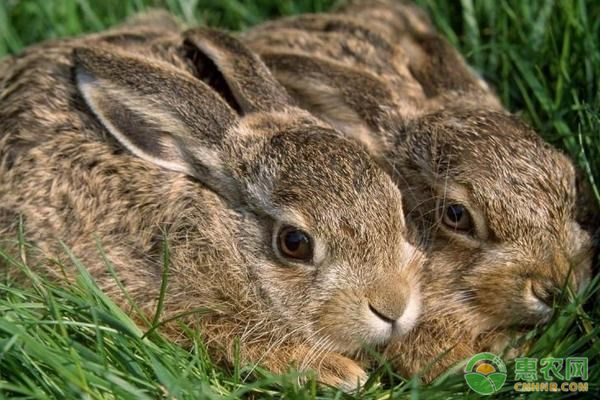 兔子养殖技巧