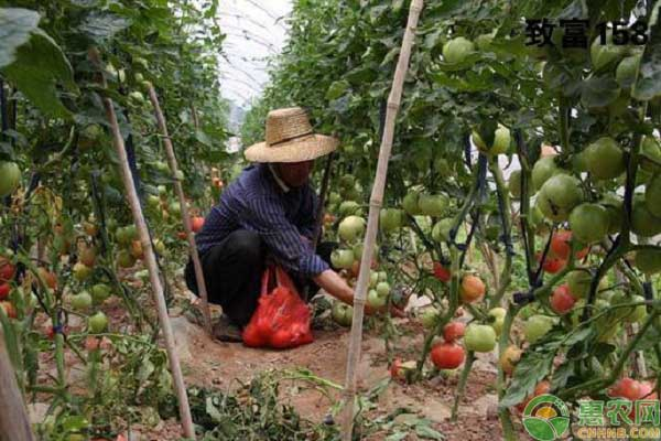 西红柿种植发展
