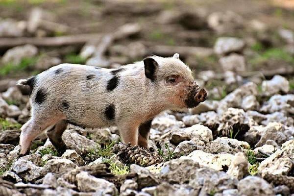 非洲猪瘟不光有扑杀补贴,还有非洲猪瘟保险,其补偿标准你都了解吗?